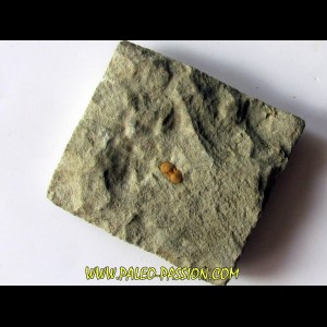 Morocconus notabilis (1)