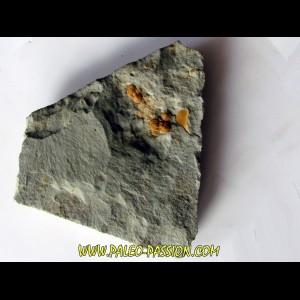 Morocconus notabilis (4)