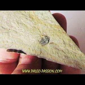 Amecephalus Packi  (1)