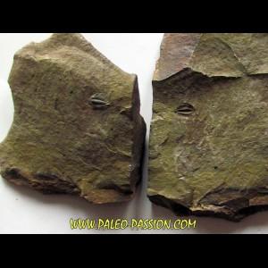 Amecephalus Packi  (2)