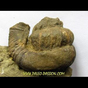 Pseudoosbeloceras  anapodense