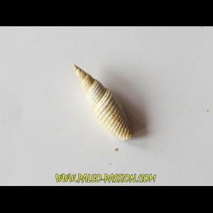 Mitra substriatula (2)
