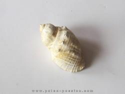 sveltia inermis gallica (1)