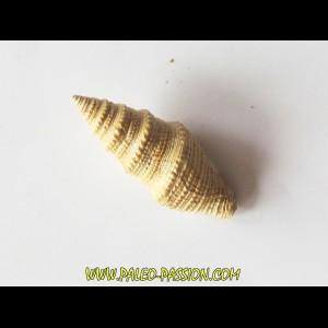 Bathytoma cataphracta dertogranosa (1)