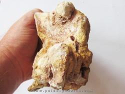 vertebrae SPINOSAURE AEGIPTICUS (3)
