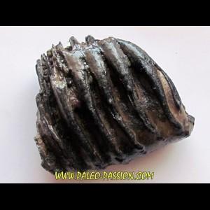 MAMMOTH TOOTH:  mammuthus primigenius (1)