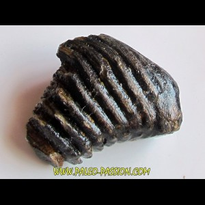 DENT DE MAMMOUTH:  mammuthus primigenius (2)