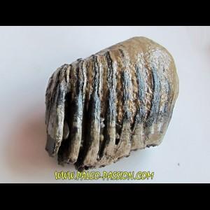 DENT DE MAMMOUTH:  mammuthus primigenius (4)