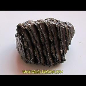 DENT DE MAMMOUTH:  mammuthus primigenius (6)