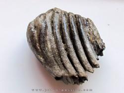 MAMMOTH TOOTH:  mammuthus primigenius (7)