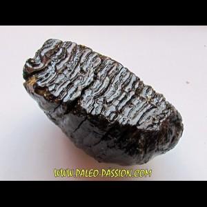 MAMMOTH TOOTH:  mammuthus primigenius (8)
