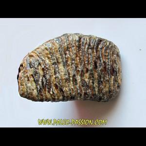 MAMMOTH TOOTH:  mammuthus primigenius (10)