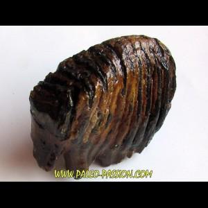 MAMMOTH TOOTH:  mammuthus primigenius (12)