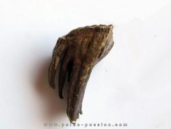 MAMMOTH TOOTH:  mammuthus primigenius (13)