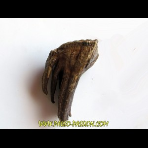 DENT DE MAMMOUTH:  mammuthus primigenius (13)
