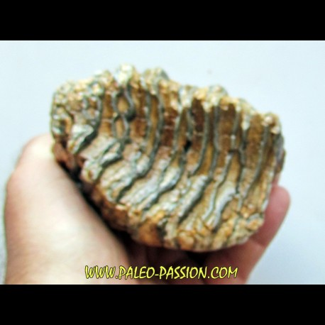 MAMMOTH TOOTH:  mammuthus primigenius (14)