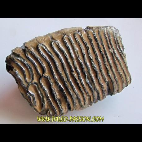 MAMMOTH TOOTH:  mammuthus primigenius (17)
