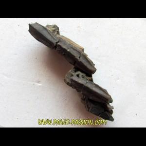 dinosaure teeth: HADROSAURE (3)