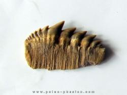 notidanodon loozi (1)