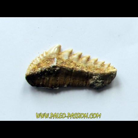 notidanodon loozi (3)