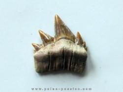 notidanodon loozi (4)