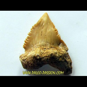 PALEOCARCHARODON ORIENTALIS (2)