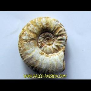 Mirosphinctes-aff-frickensis (2)
