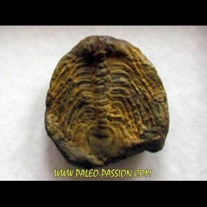 Selenopeltis Gallicus