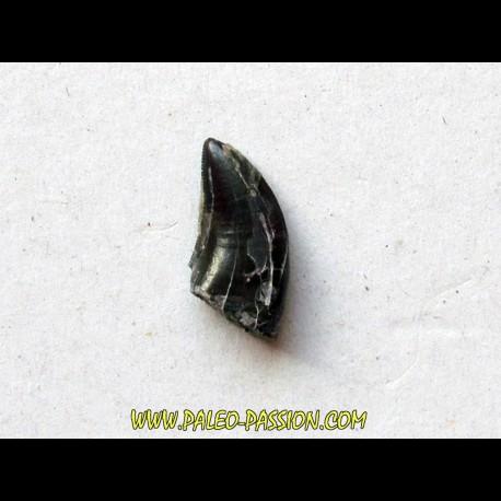 dinosaur tooth raptor: dromaeosaurus (1)