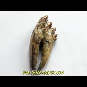 dent de Platyosphys aithai (1)