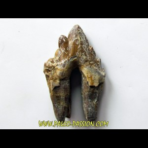 dent de Platyosphys aithai (2)