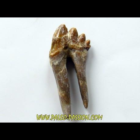 dent de Platyosphys aithai (3)