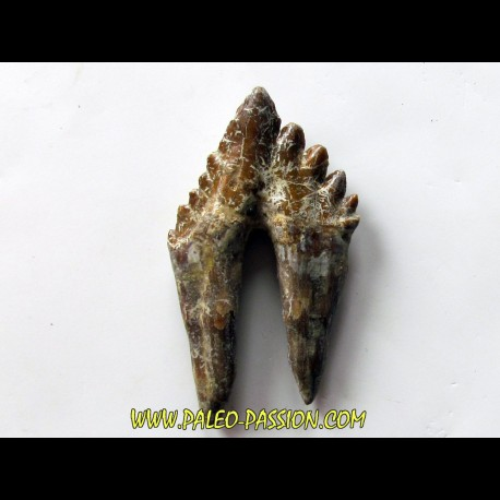 dent de Platyosphys aithai (4)