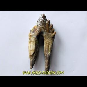 dent de Platyosphys aithai (5)