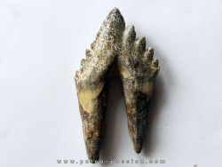 dent de Platyosphys aithai (7)