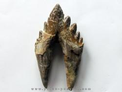 dent de Platyosphys aithai (8)