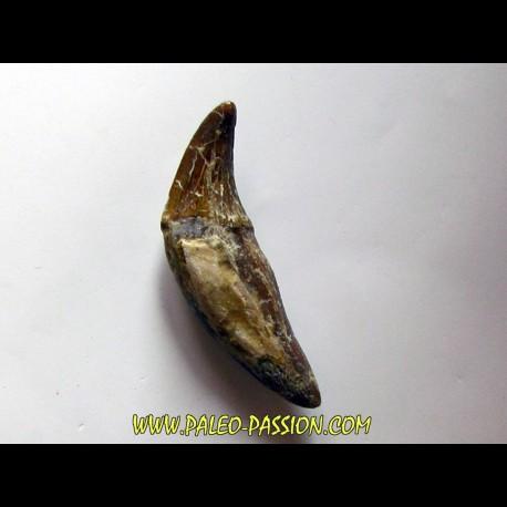 dent de Platyosphys aithai (13)