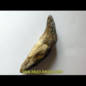 dent de Platyosphys aithai (14)
