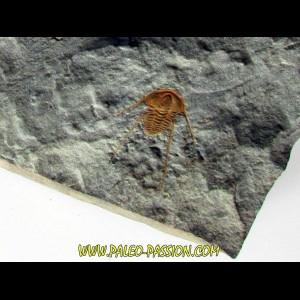 hamatolenus vincenti (2)