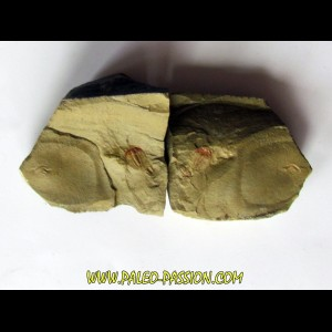 resserops falloti  (2)