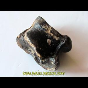 talus (ankle bone)  Bison priscus (1)