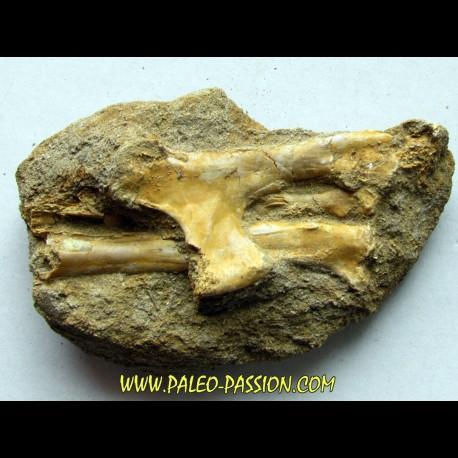 Humerus de pterosaur: Humerus, radius and ulna : Alcione elainus