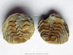 Selenopeltis buchi