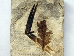 Pachypteris desmonera (1)