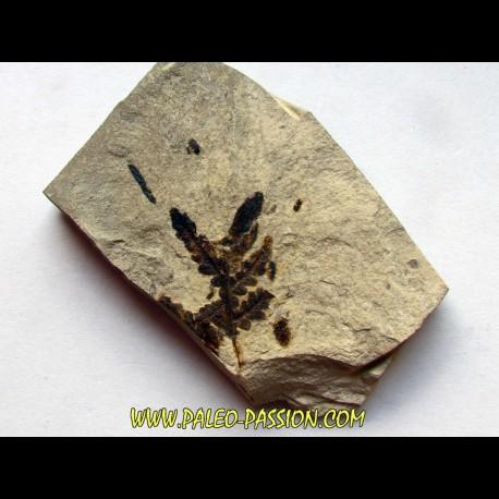 Cycadopteris Jurensis (3)