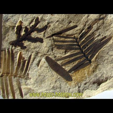 RARE ASSOCIATION:  Zamites Feneonis - cycadopteris jurensis - zamites williamsoni