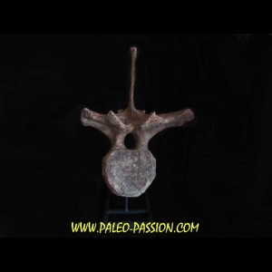 dinosaure vertebra: TRICERATOPS HORRIDUS