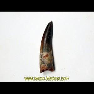 dent de dinosaure SPINOSAURE AEGIPTICUS  (25)