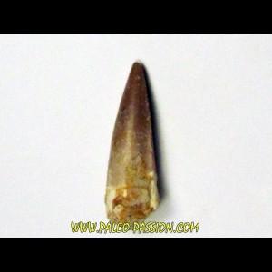 dent de dinosaure SPINOSAURE AEGIPTICUS  (41)