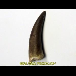 dent d'elasmosaure: zarafasaura oceanis (5)
